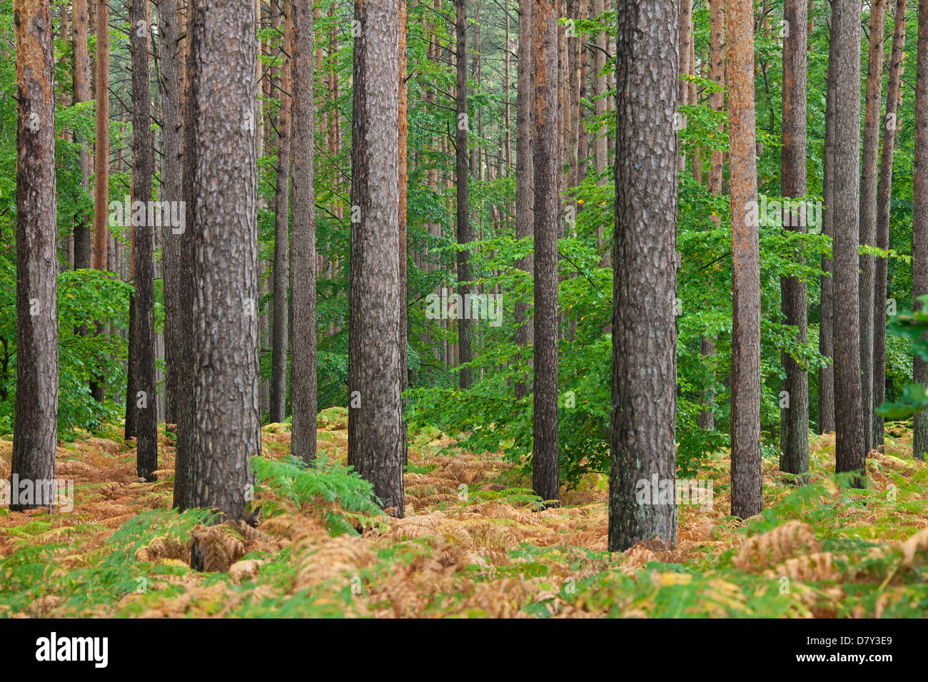Scots Pine (Pinus sylvestris) and bracken in coniferous forest in autumn - Stock Image