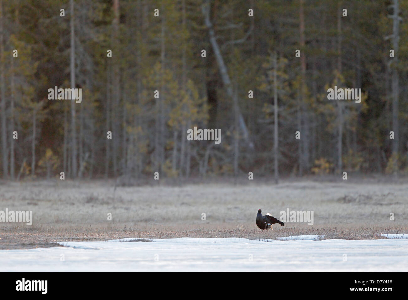 Male Black Grouse at a lek in Finland - Stock Image
