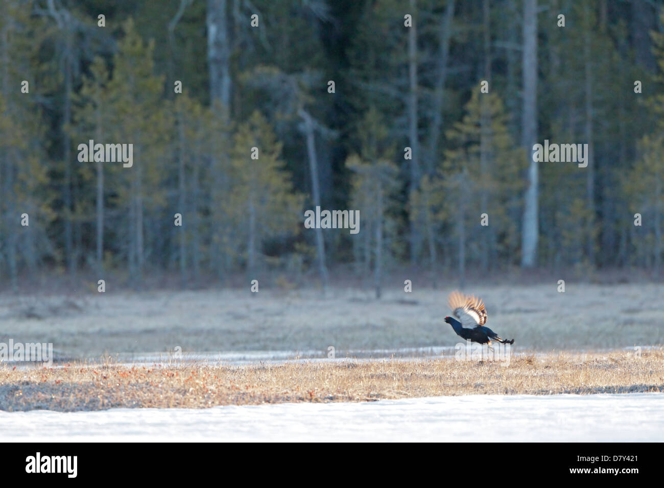 Male Black Grouse flying at a lek in Finland - Stock Image