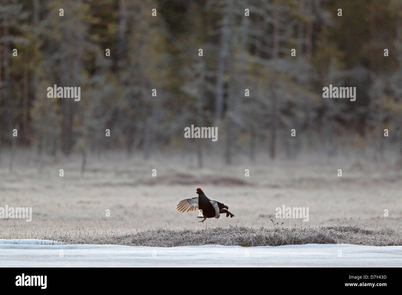 Male Black Grouse jumping at a lek in Finland - Stock Image
