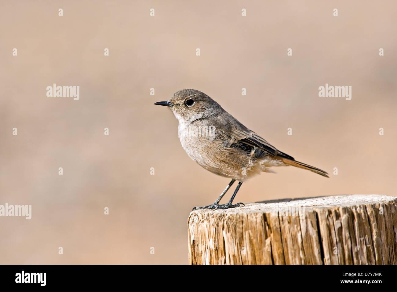 Mariqua flycatcher - Stock Image