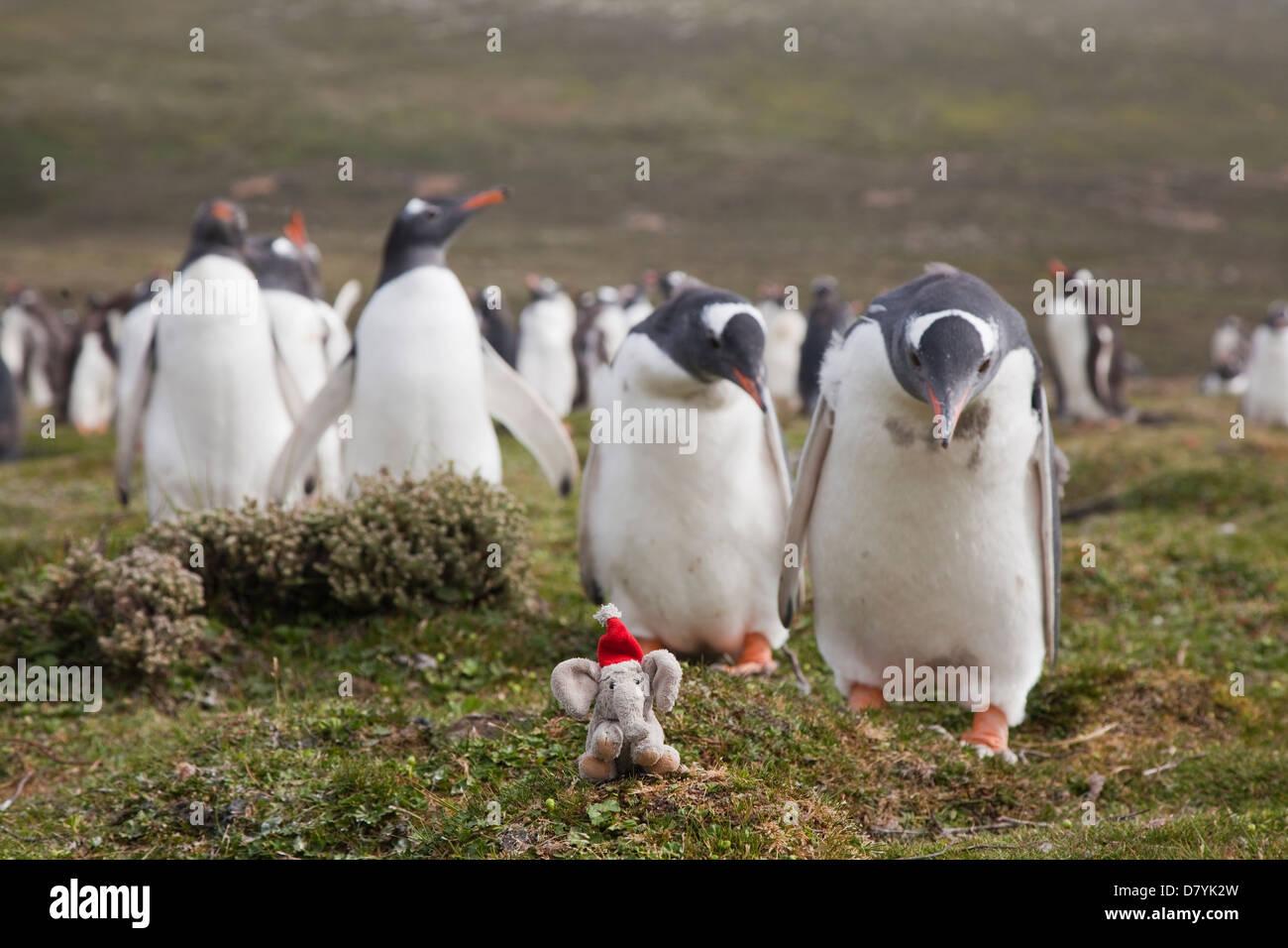 Eselspinguine;gentoo penguin;pygoscelis papua - Stock Image
