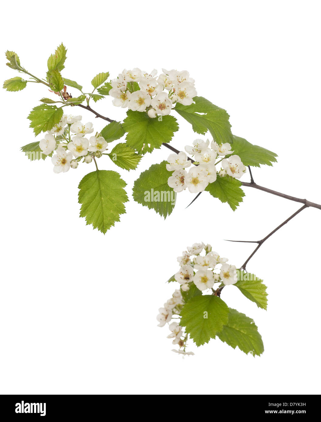 Hawthorn branch close up on white background - Stock Image