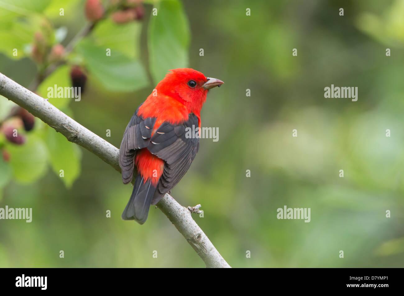Male Scarlet Tanager (Piranga olivacea), High Island, Texas - Stock Image