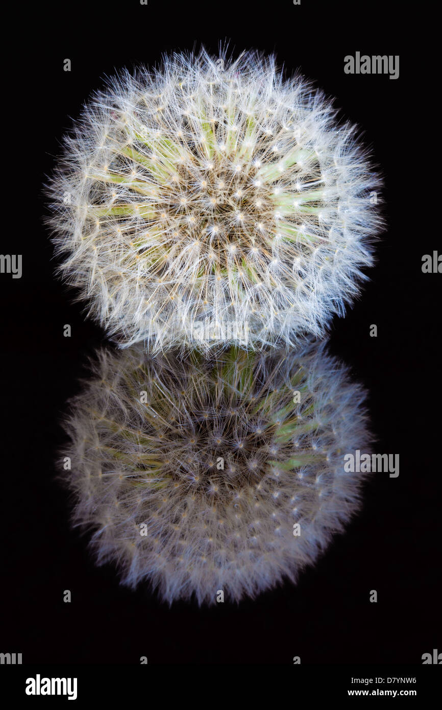 Close-up of a dandelion seed head (Taraxacum officinale) reflected in a black mirrored surface Stock Photo