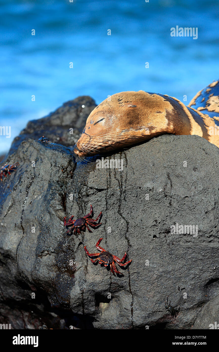 Sea lion and sally lightfoot crabs, Galapagos Islands - Stock Image