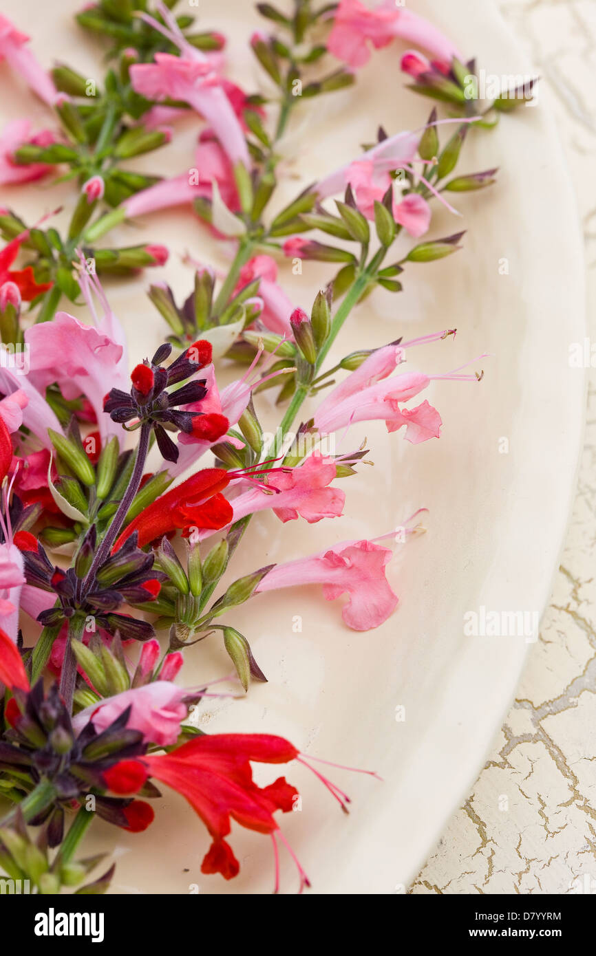 Edible pink, red and purple salvia flowers on a white plate. - Stock Image