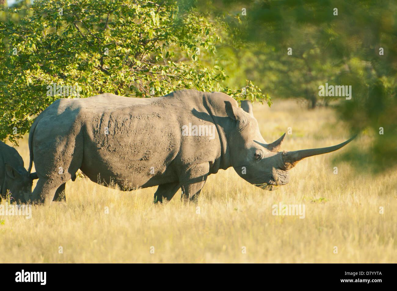 White Rhinoceros in Ongava, near Etosha National Park, Namibia - Stock Photo
