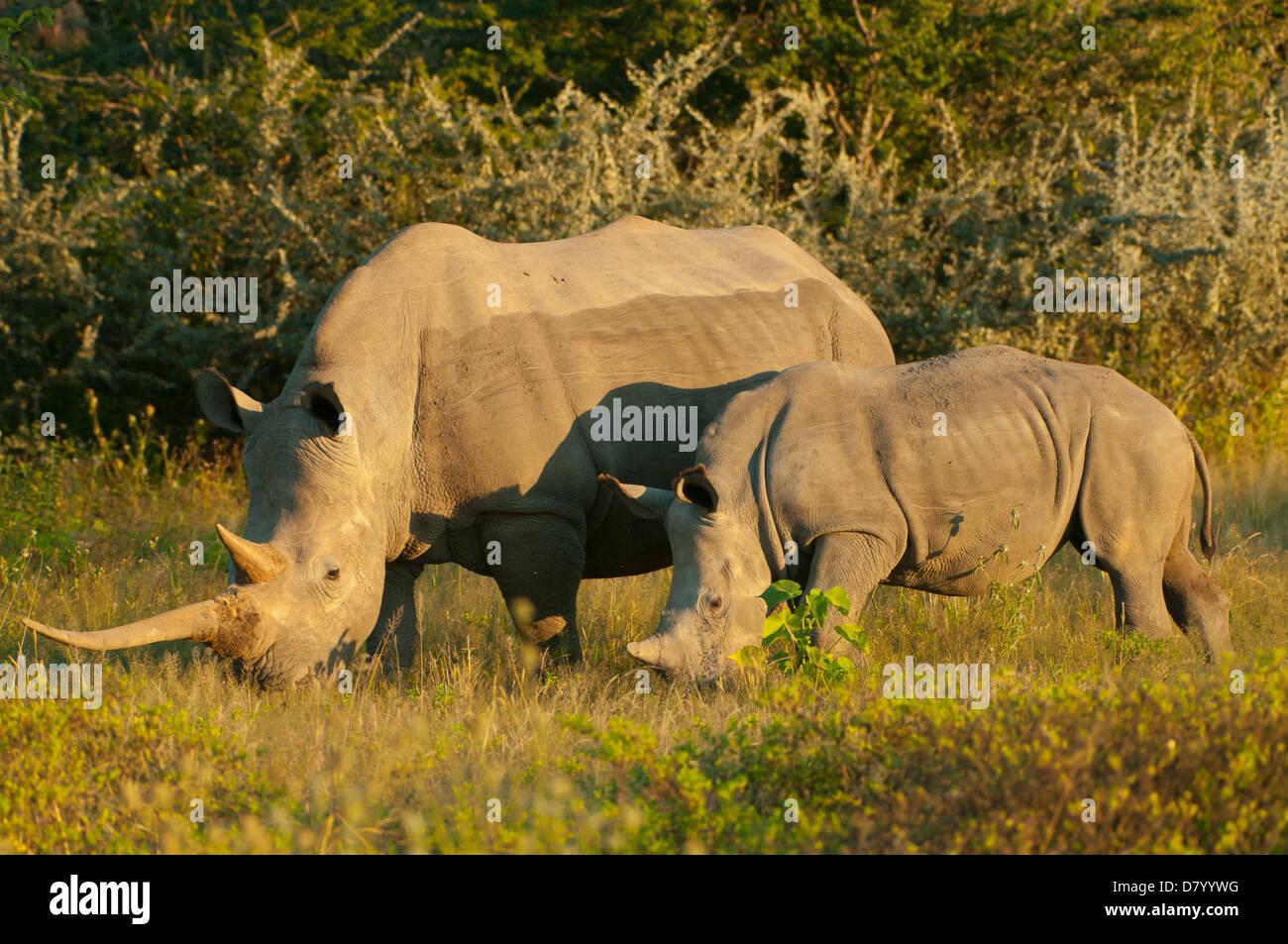 Pair of White Rhinoceros in Ongava, near Etosha NP, Namibia - Stock Photo