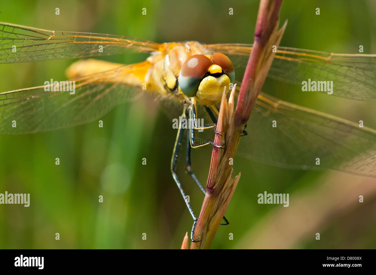 Dragonfly Close-up - Stock Image