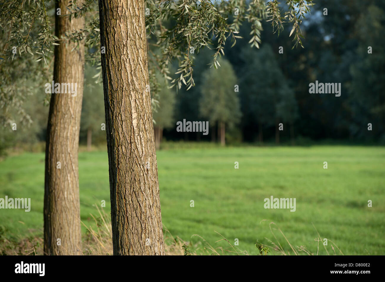 willow trees and field - Stock Image