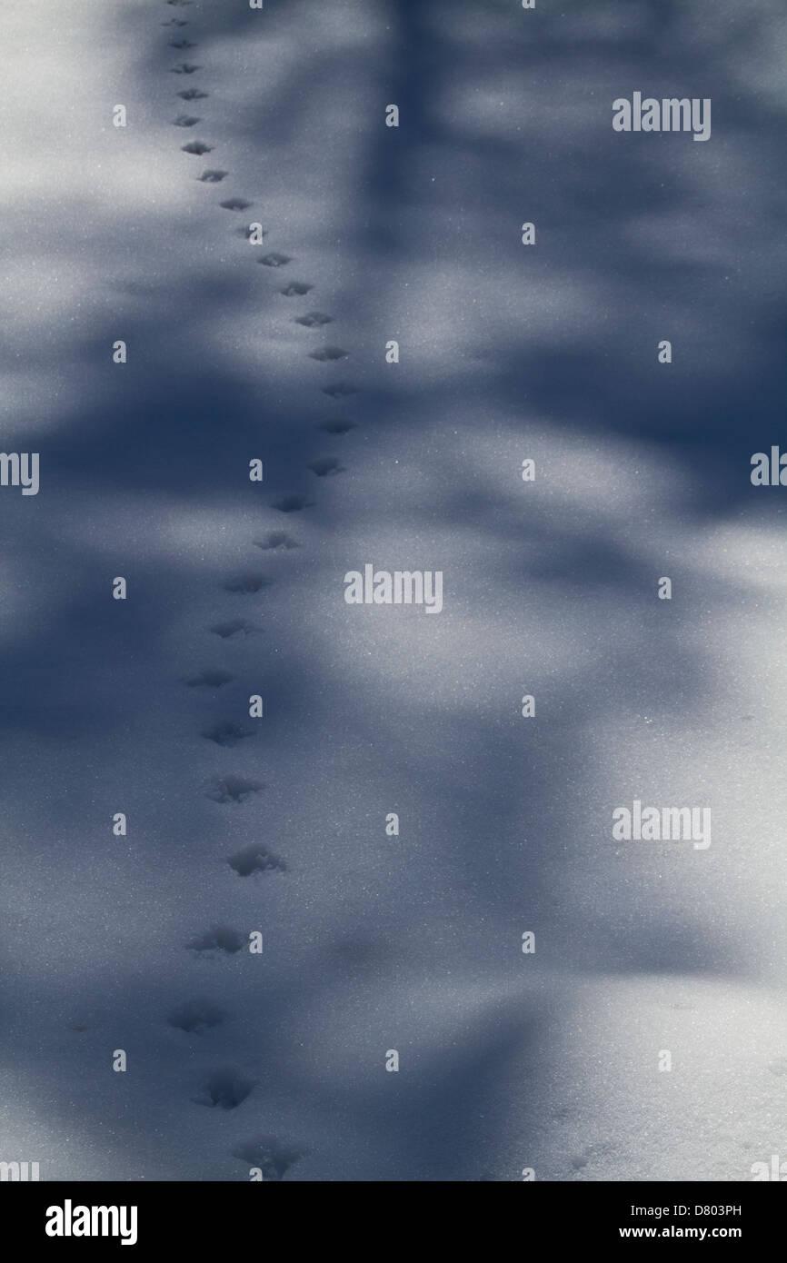 Animals tracks in the snow, Glen Prosen, Angus, Scotland. Stock Photo