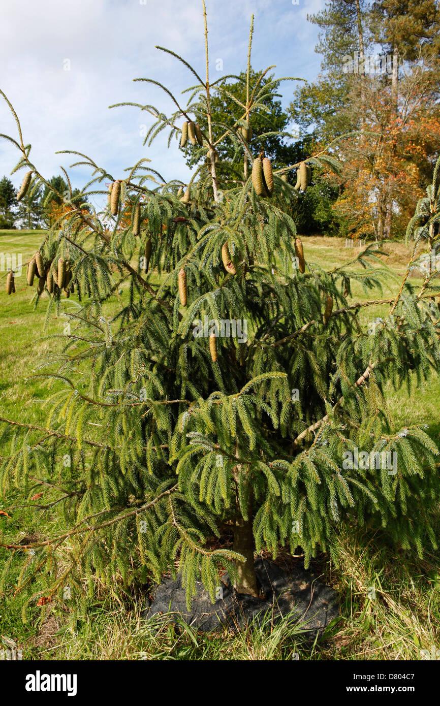 Farrer Spruce in Bedgebury Pinetum - Stock Image