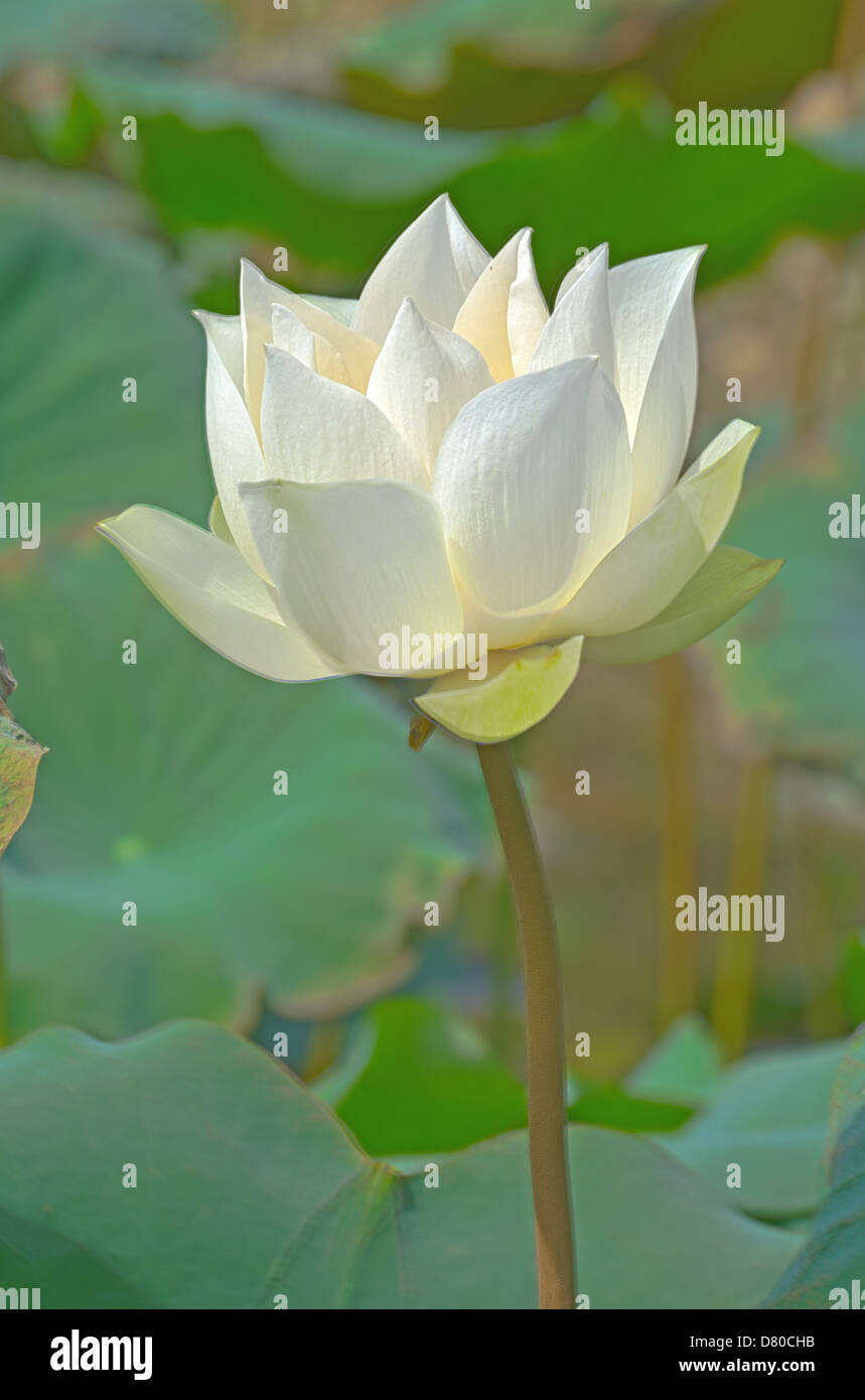White lotus society stock photos white lotus society stock images it mean purity or pure heart of people or societyai and buddhist use to izmirmasajfo