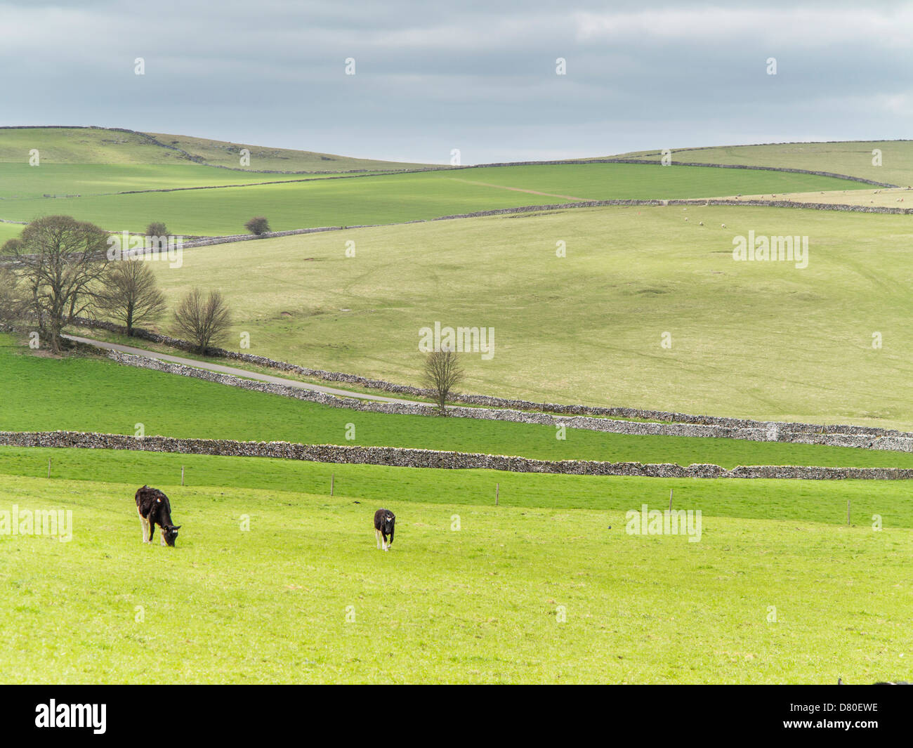 Pastoral view of cows and fields on the Peak District National Park, Derbyshire, England - Stock Image