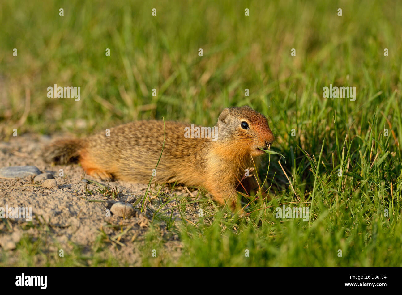 Columbian ground squirrel Spermophilus columbianus Feeding and alert near burrow in urban setting Canmore Alberta - Stock Image