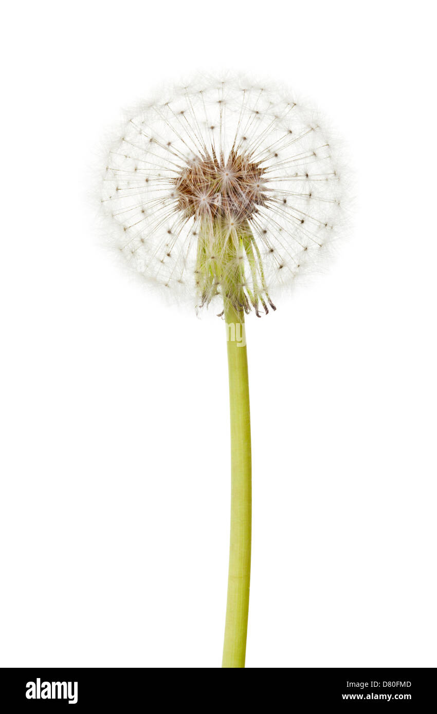 dandelion whole on white background - Stock Image