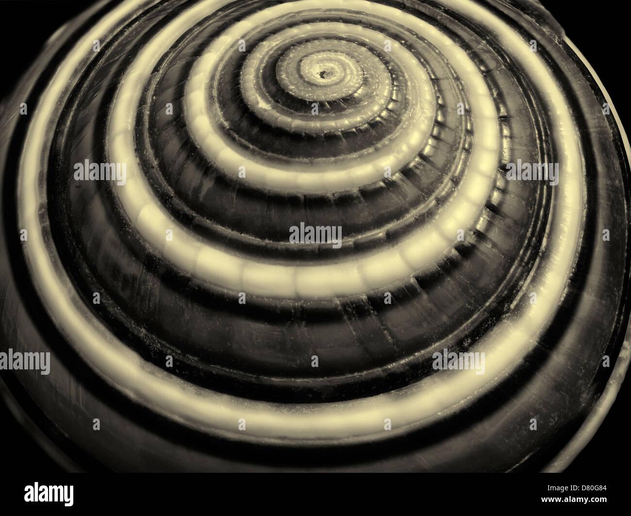 Close up of Sundial sea shell. - Stock Image
