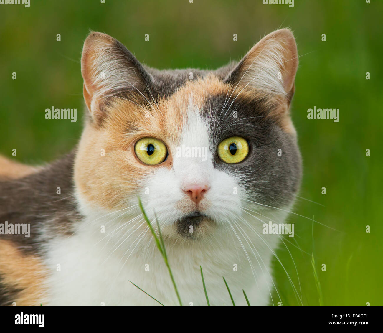 Spectacular tree colored cat portrait in grass - Stock Image