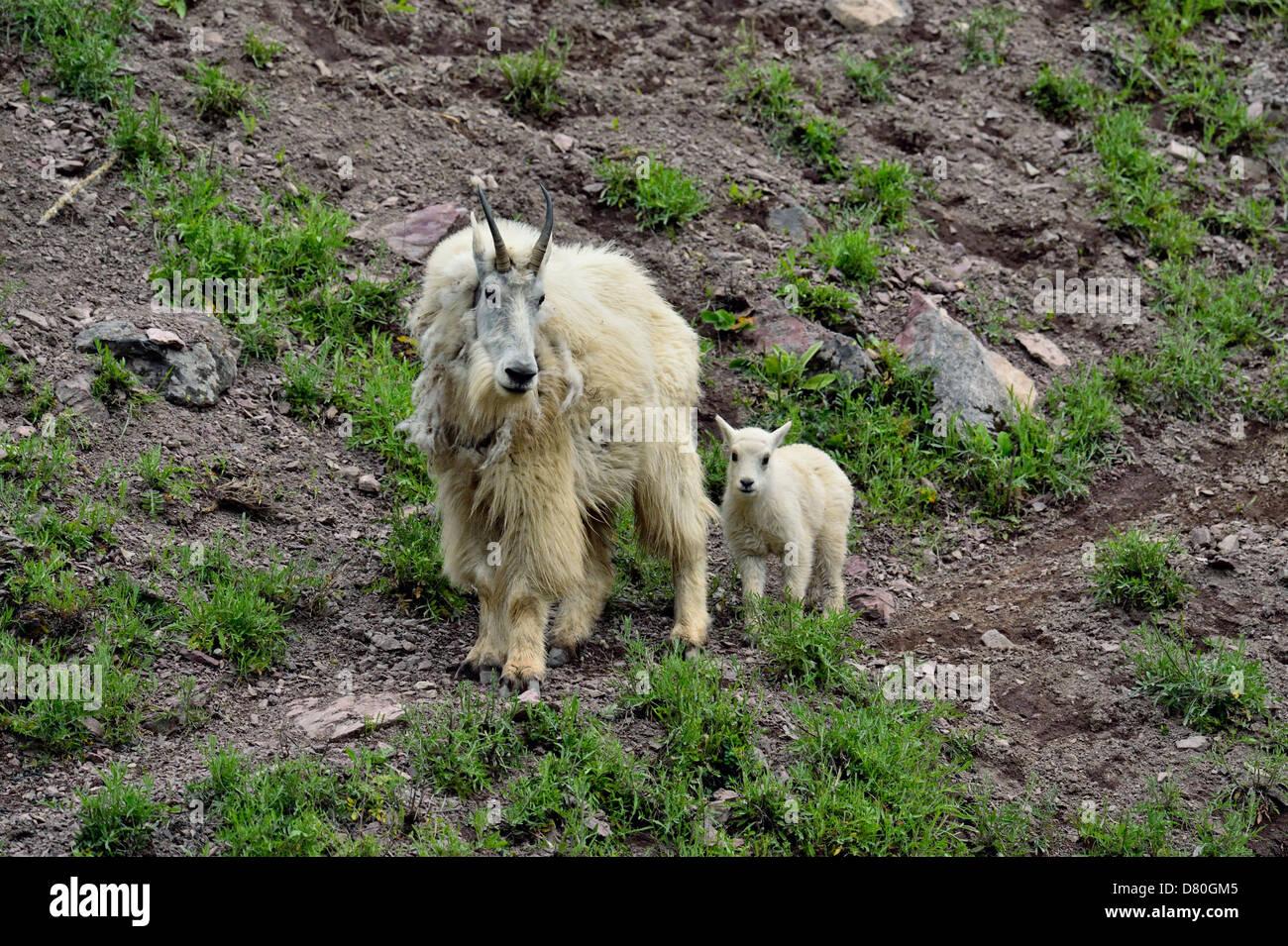 Mountain goat Oreamnos americanus Nanny and kid Glacier National Park Montana USA - Stock Image