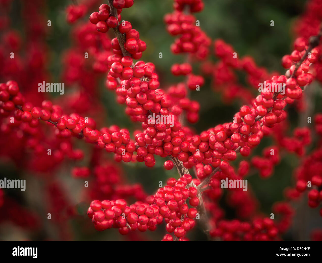 Cloe up of Winterberry Winter Rd Holly. Oregon - Stock Image
