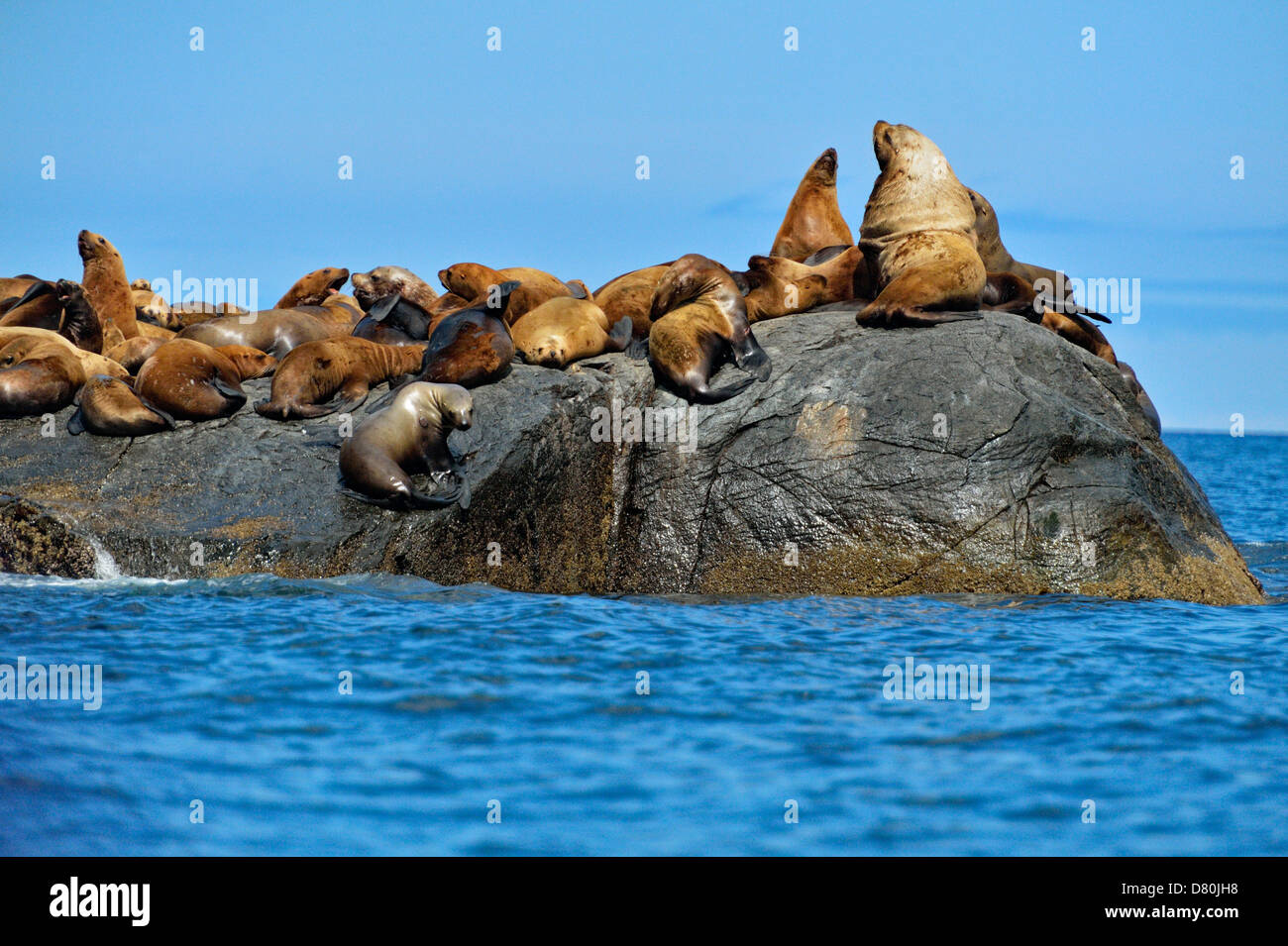 Stellar Northern sea lion Eumetopias jubatus Hauled out Garcin Rocks Gwaii Haanas National Park - Stock Image