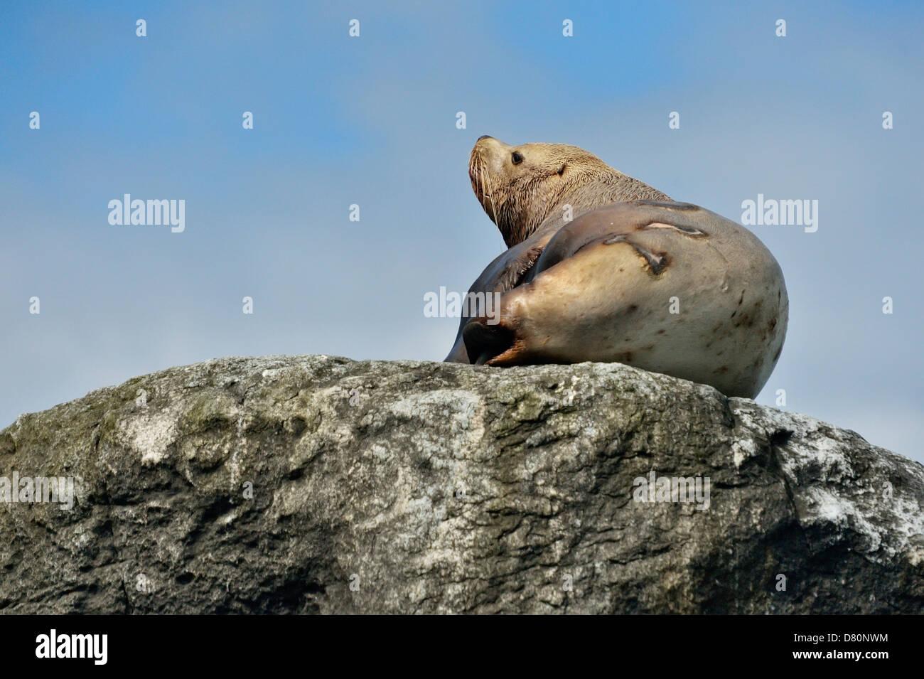 Stellar Northern sea lion Eumetopias jubatus Hauled out Garcin Rocks Gwaii Haanas National Park, British Columbia, - Stock Image