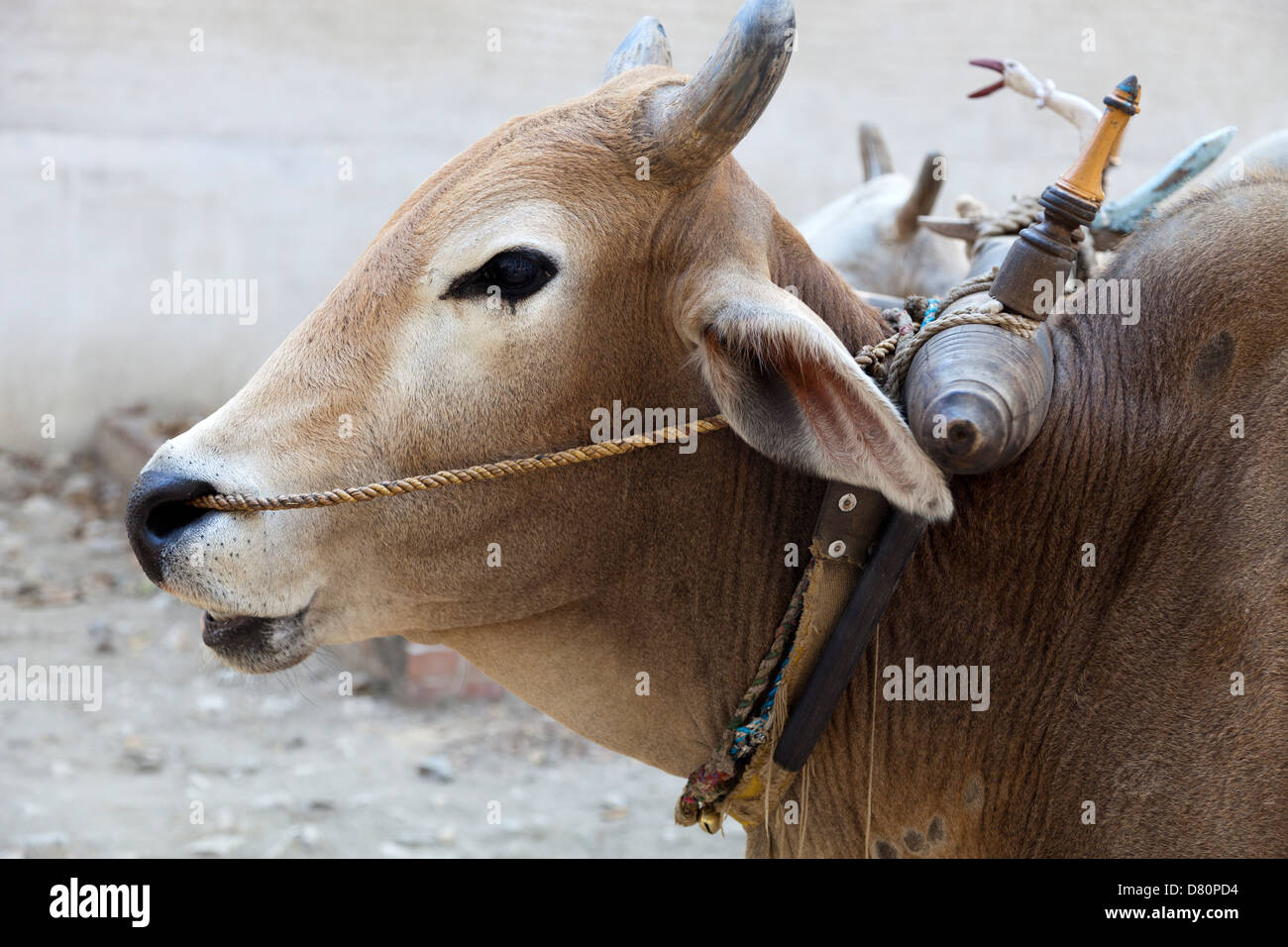 Bullock resting by his cart in Mingun, Myanmar 2 - Stock Image