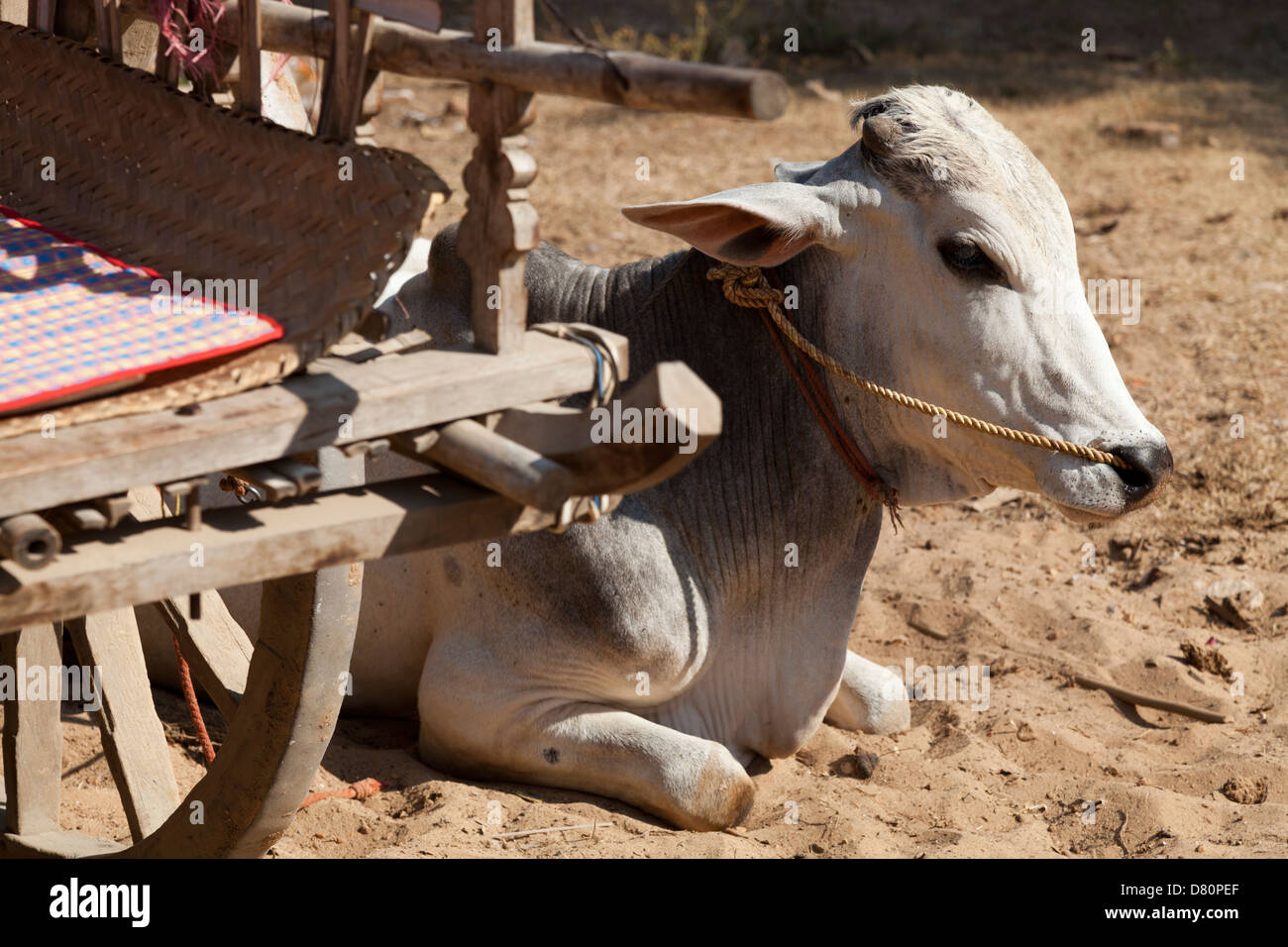 Bullock resting by his cart in Mingun, Myanmar - Stock Image