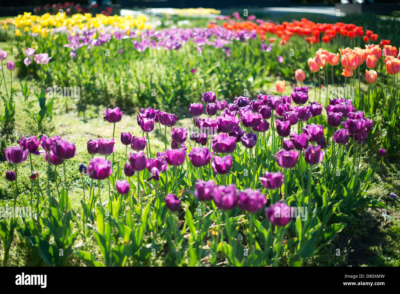Tulip garden at the Netherlands Carillon next to Arlington National Cemetery and the Iwo Jima Memorial. First donated Stock Photo