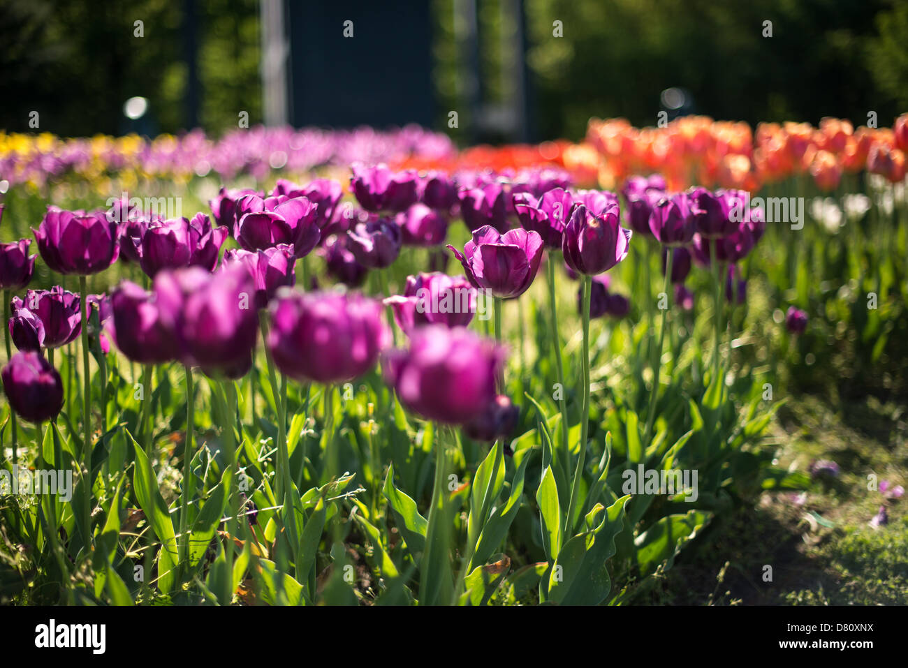 Spring tulips in bloom at the Netherlands Carillon next to Arlington National Cemetery and the Iwo Jima Memorial. Stock Photo