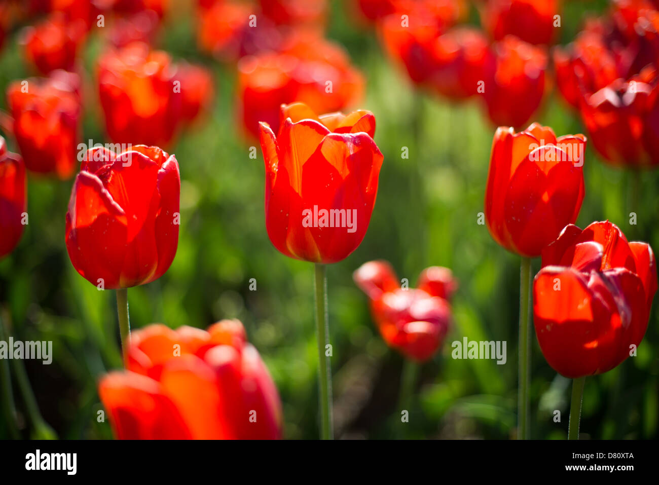 Beautiful red tulips in bloom at the Netherlands Carillon next to Arlington National Cemetery and the Iwo Jima Memorial. First donated in 1954, the Carillon was moved to its current location in 1960. It was a gift of the Netherlands to the United States in thanks for US aid during World War II. Stock Photo