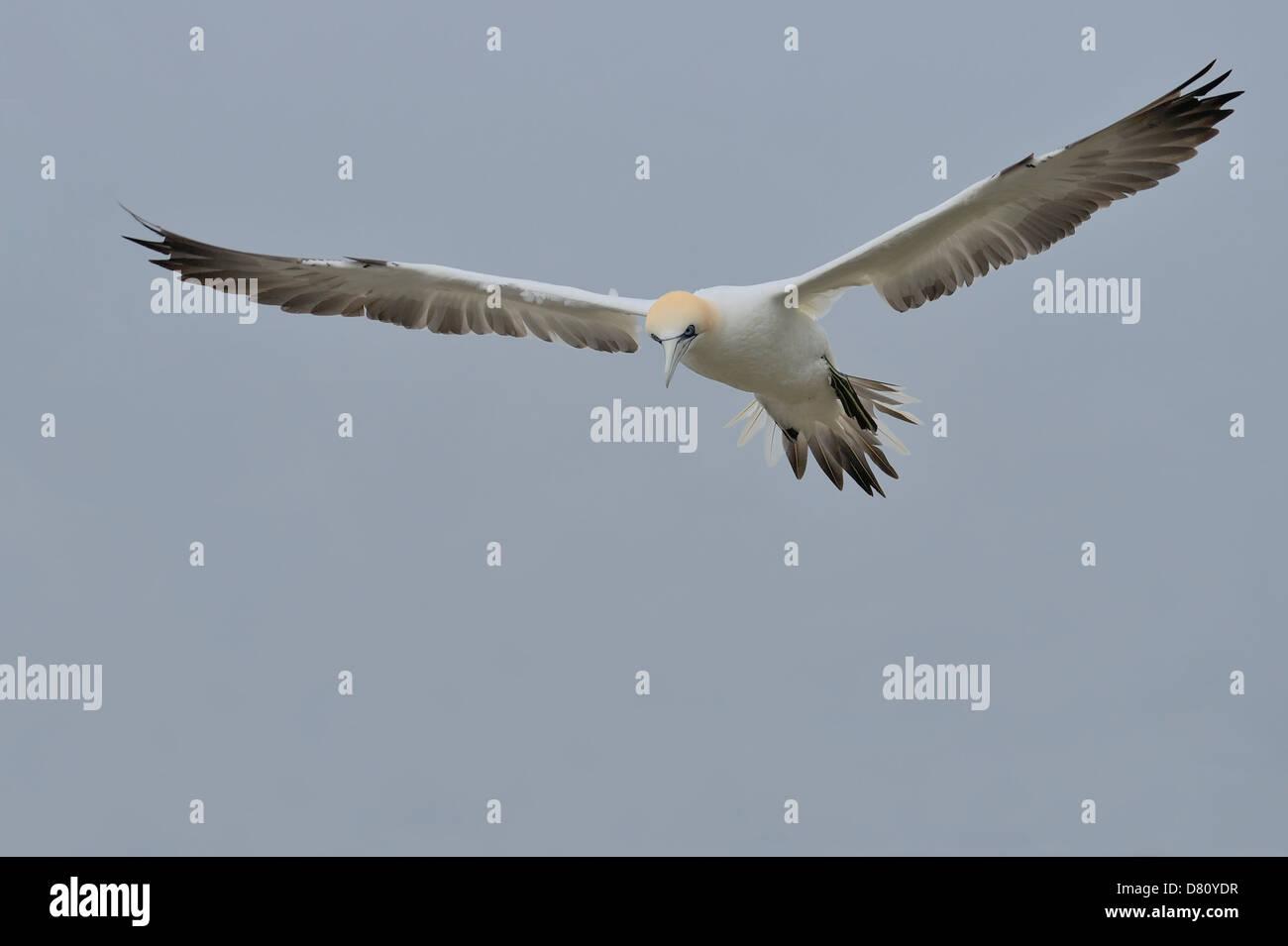 A northern gannet (Morus bassanus, Sula bassana) soaring gracefully above the North Sea. - Stock Image