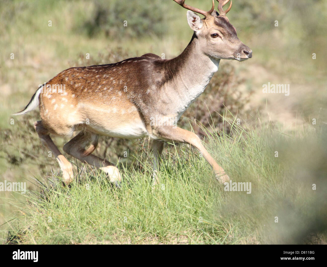 Close-up portrait of a male stag Fallow Deer ( Dama Dama) running fast - Stock Image
