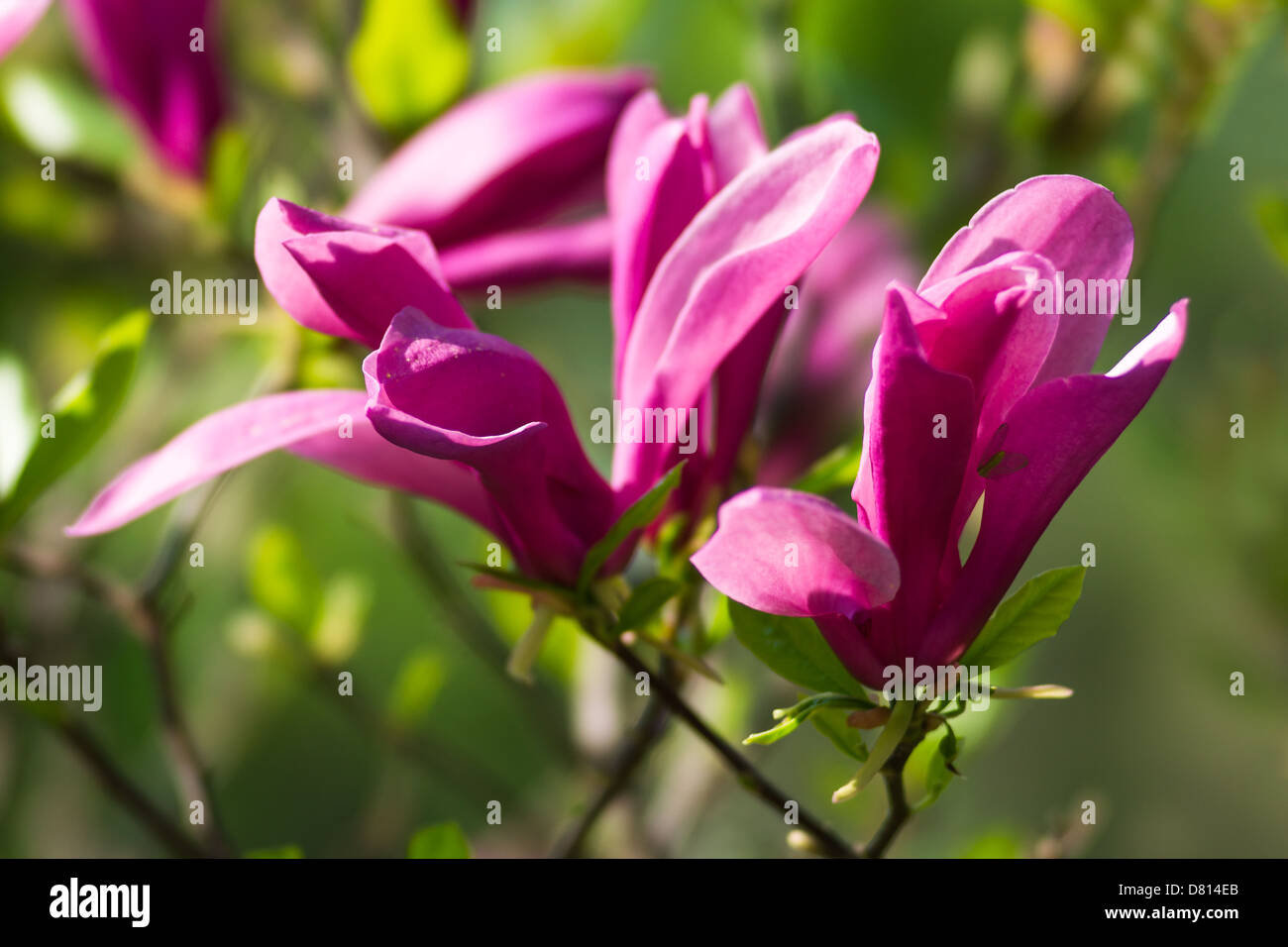 red magnolia flowers stock photo 56573843 alamy