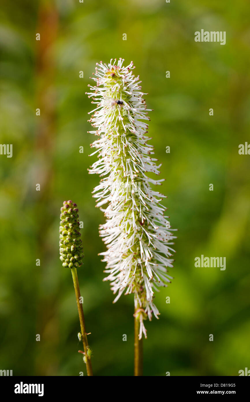 Sitka Burnet wildflower (Sanguisorba stipulata) Denali National Park, Alaska, USA - Stock Image