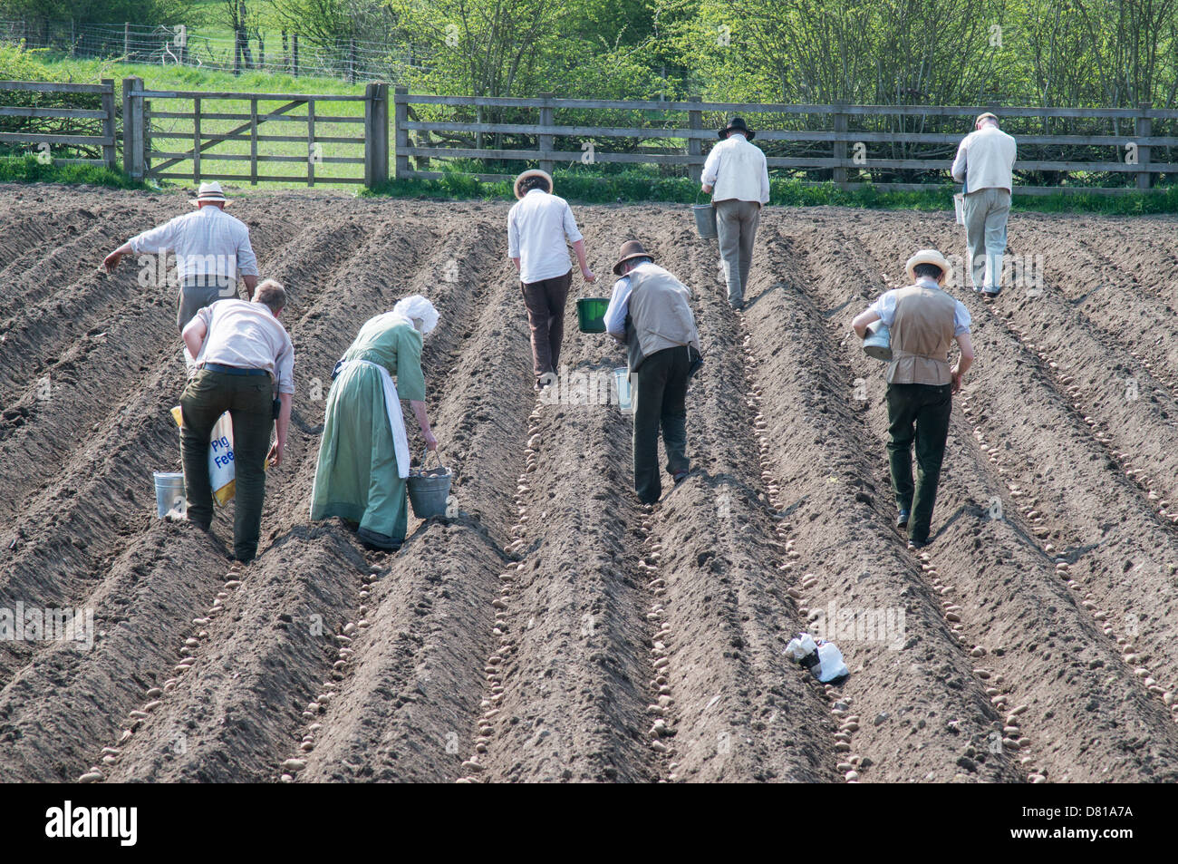 People Planting potatoes by hand in a field Beamish Museum north east England UK Stock Photo