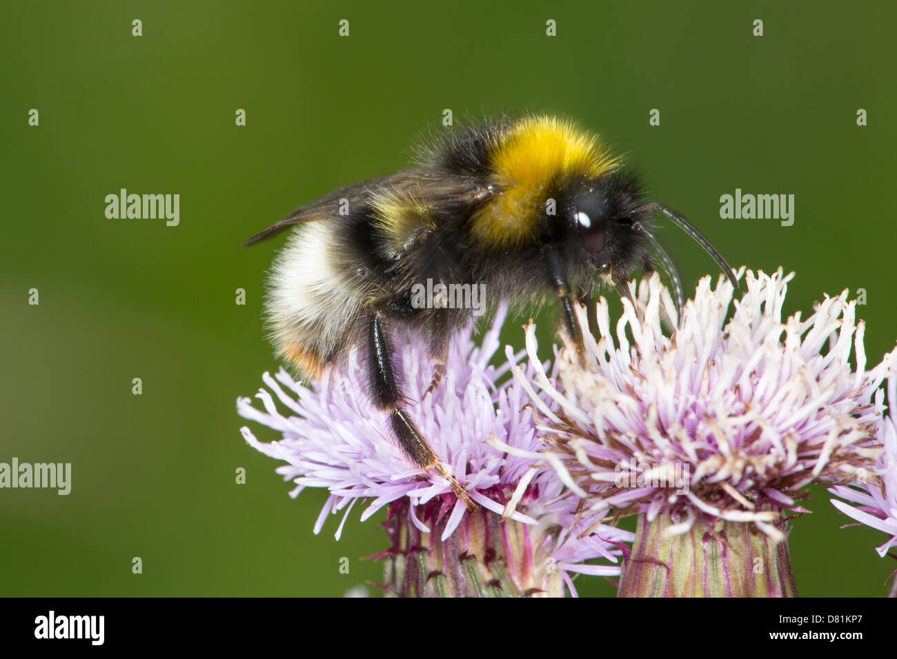 Male Forest Cuckoo Bumblebee, Bombus sylvestris, feeding Creeping Thistle Cirsium arvense - Stock Image