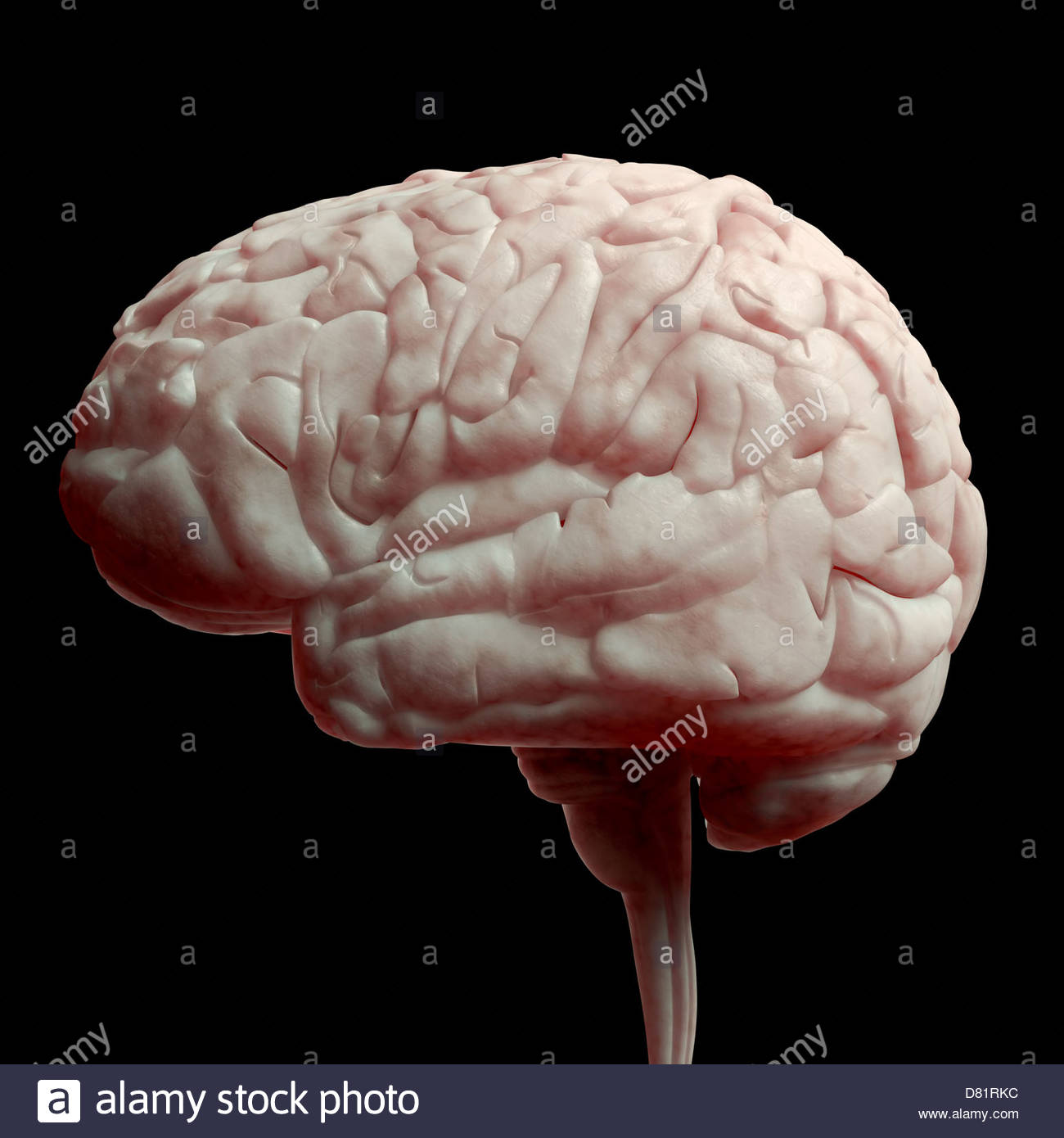 Digital medical illustration: Lateral (side) view of human brain. - Stock Image