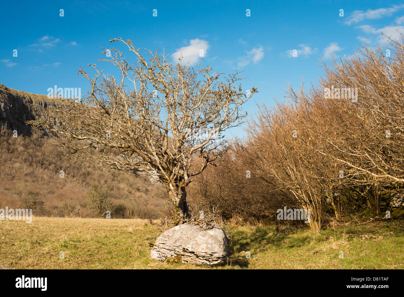 Hawthorn tree and hazel scrub in early spring at Keelhilla National Nature Reserve, the Burren, County Clare, Ireland - Stock Image