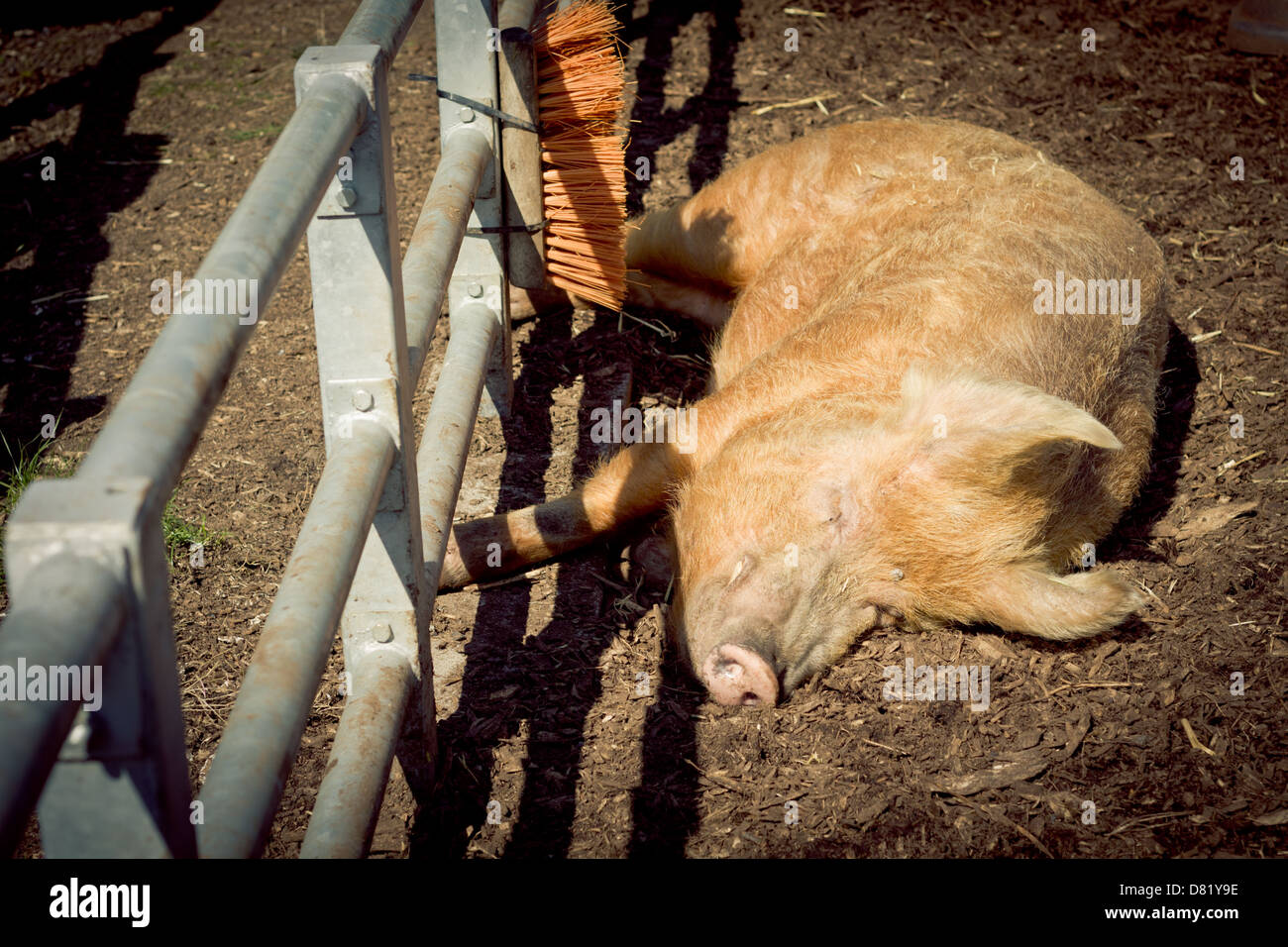 Pig Basking In The Sun - Stock Image