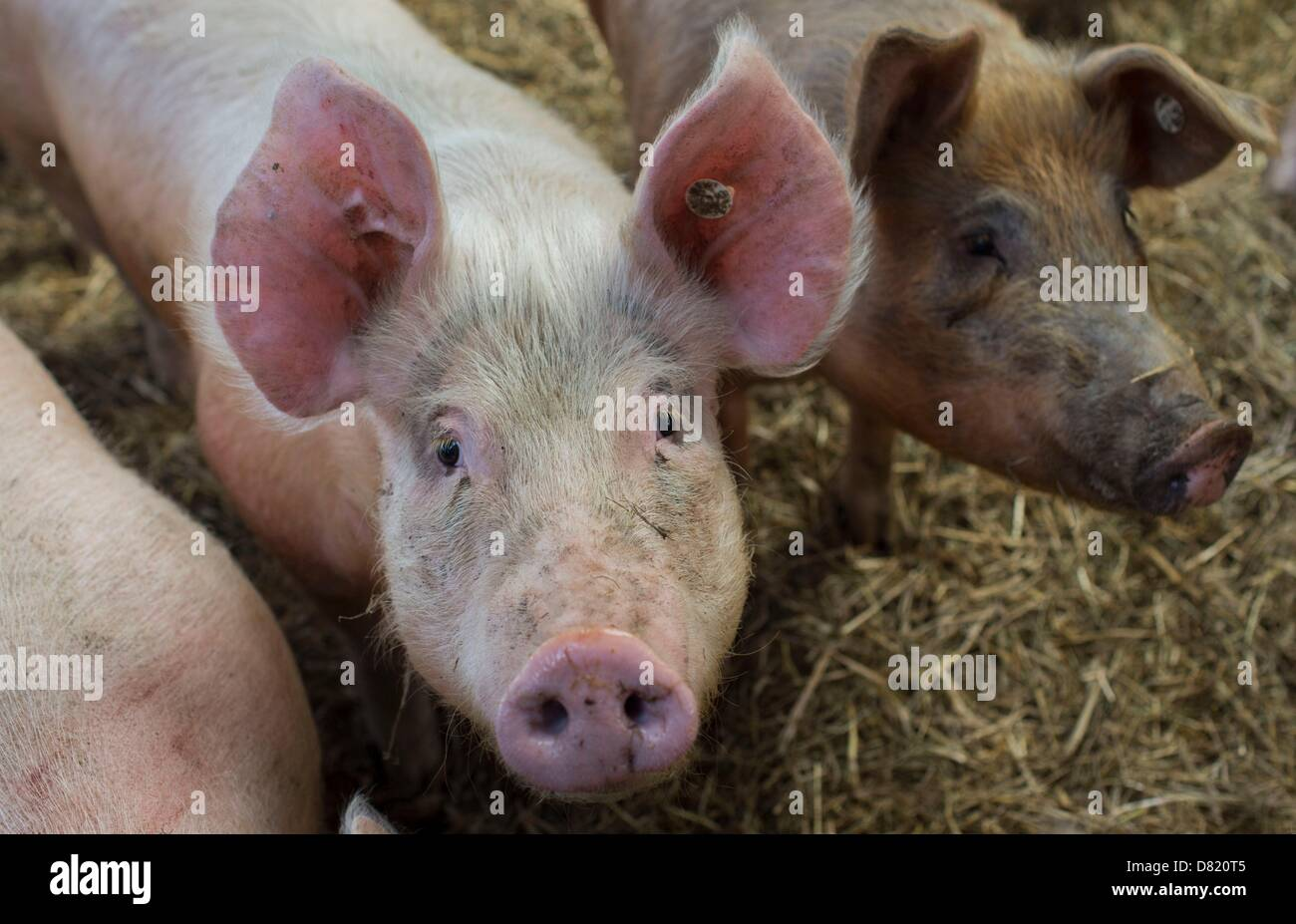 Swines are pictured in front of their stable at Gut Klepelshagen of the Deutschen Wildtierstiftung (German Foundation - Stock Image