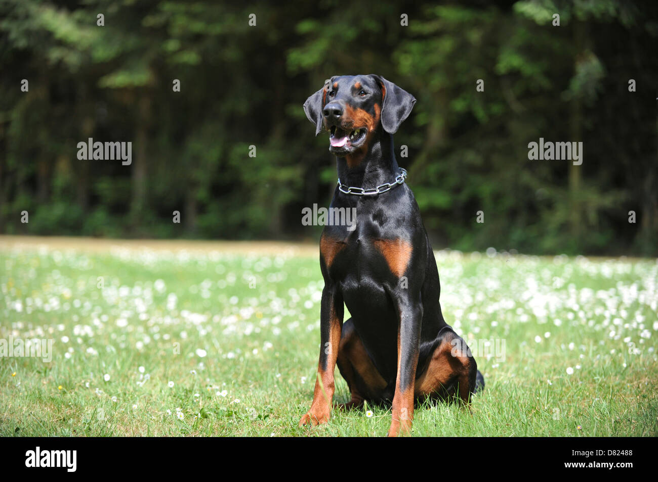 sitting Doberman Pinscher - Stock Image