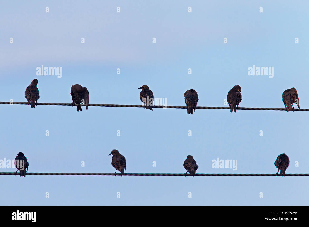 Flock of European starlings (Sturnus vulgaris) preening feathers on high-voltage cable during migration Stock Photo