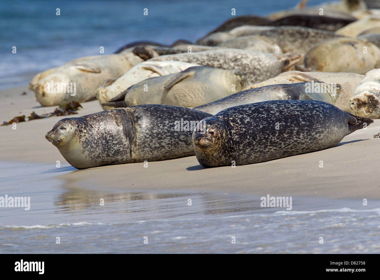 Common seals / Harbour seal (Phoca vitulina) colony resting on beach - Stock Image