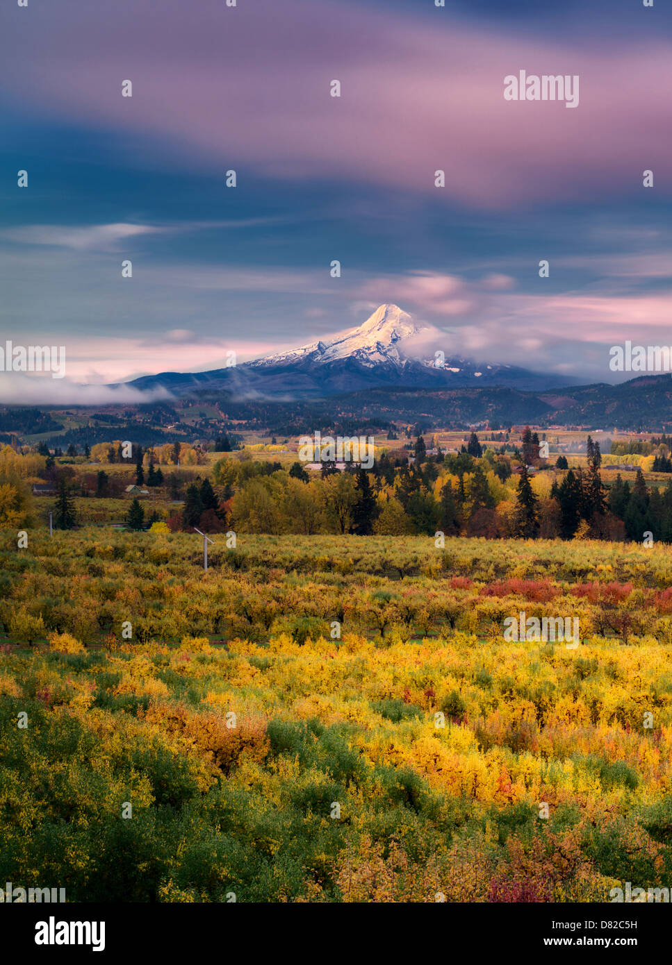 Fruit orchards in fall color with Mt. Hood. Hood River Valley, Oregon - Stock Image