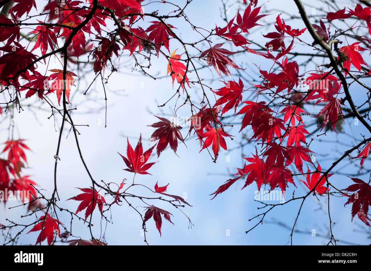 Japanese Maple with Red leaves and twigs silhouetted against a pale blue sky. - Stock Image