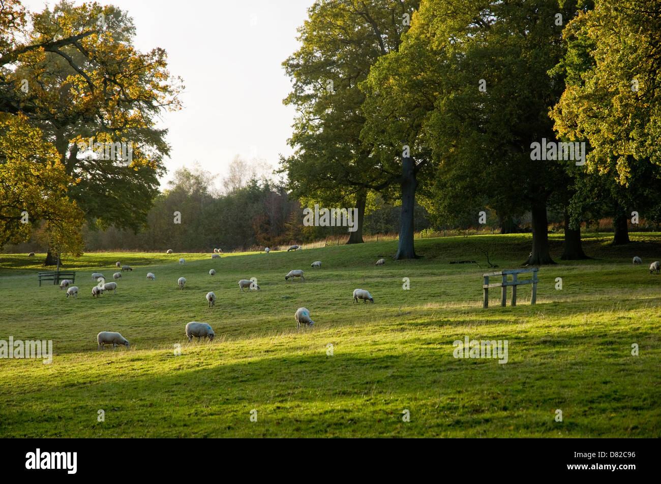 Sheep grazing in an English Landscape -  the light is fading at the end of the day - a pastoral scene.  UK - Stock Image
