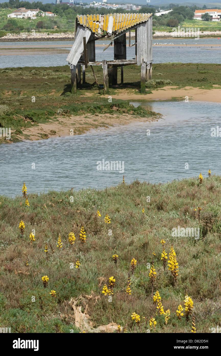 Yellow Broomrape (Cistanche phelypaea) habitat  Alvor Algarve Portugal Mediterranean Europe Stock Photo