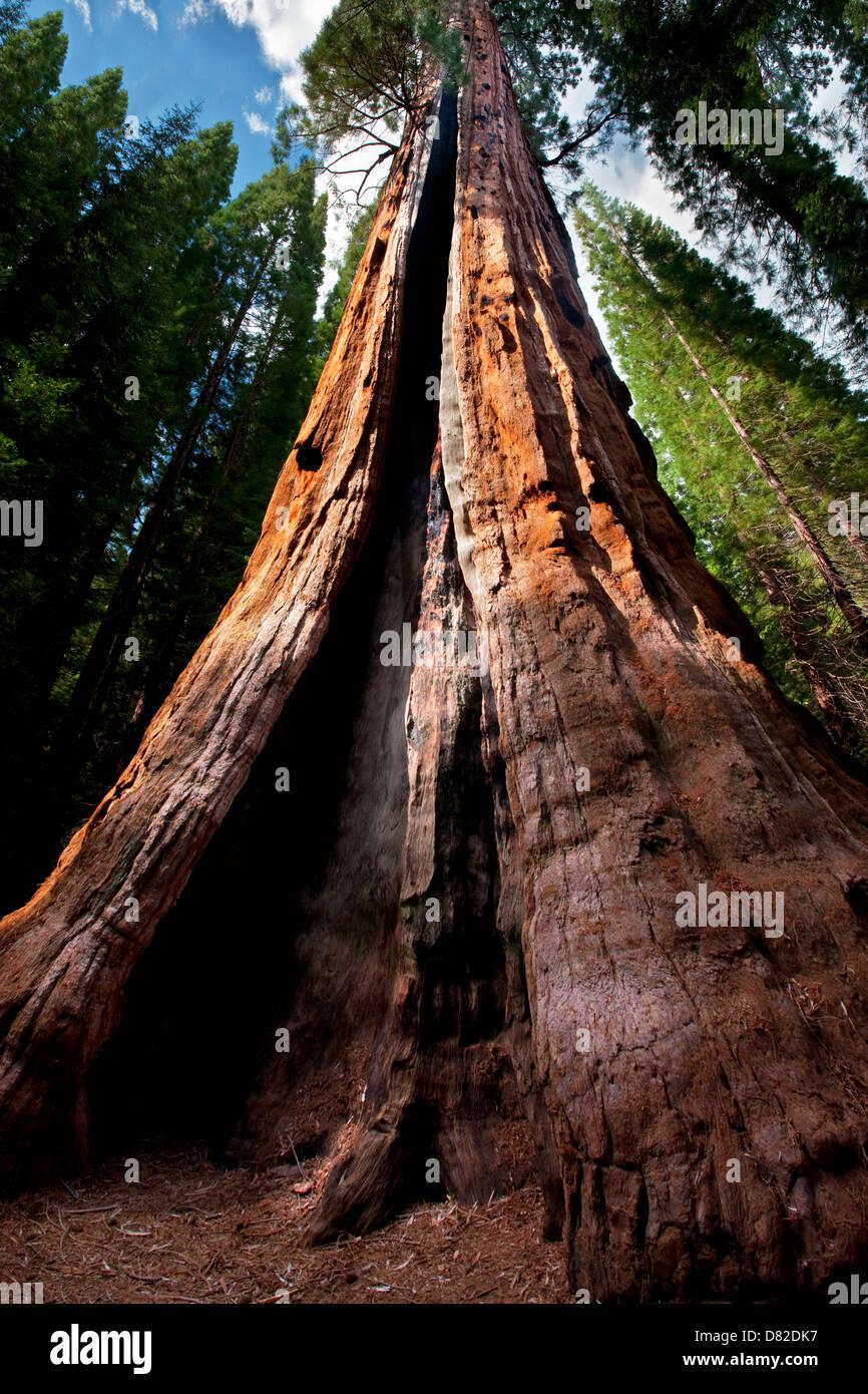 Boole tree. Kings Canyon National Park, California - Stock Image